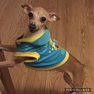 Italian Greyhound Dog for adoption in Smithtown, New York - Lilly and Amy