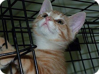Domestic Shorthair Kitten for adoption in Stafford, Virginia - Paul