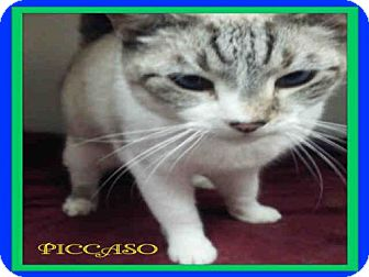 Snowshoe Cat for adoption in Fort Walton Beach, Florida - PICCASO