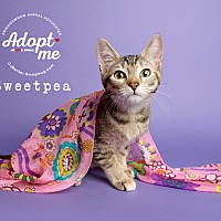 Adopt A Pet :: Sweetpea - Friendswood, TX