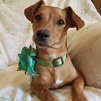 Adopt A Pet :: Ruby (HAS BEEN ADOPTED) - Trenton, NJ