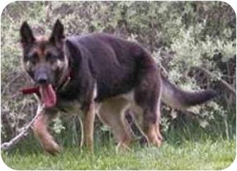 German Shepherd Dog Mix Dog for adoption in Oxford, Michigan - Gabby