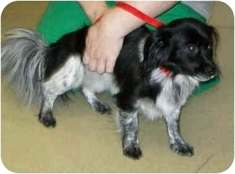Dachshund/Shih Tzu Mix Dog for adoption in Murphysboro, Illinois - Macie