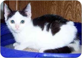 Domestic Shorthair Kitten for adoption in Oklahoma City, Oklahoma - Rose