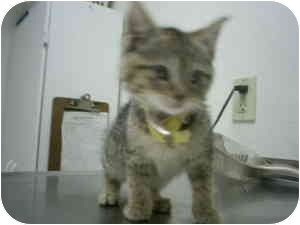Domestic Shorthair Kitten for adoption in Collinsville, Oklahoma - Dash