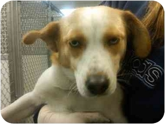 Beagle/Ibizan Hound Mix Dog for adoption in Grant Park, Illinois - Jazzy