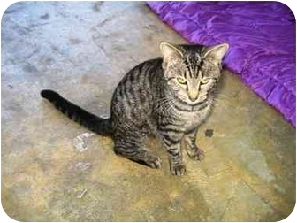 Domestic Shorthair Cat for adoption in Lancaster, Kentucky - Miss Tiger