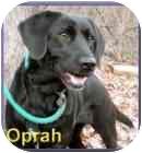 Labrador Retriever Mix Dog for adoption in Aldie, Virginia - Oprah