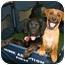 Photo 3 - Corgi Mix Puppy for adoption in Wayne, New Jersey - Lark