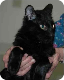 Domestic Shorthair Cat for adoption in Warwick, Rhode Island - Pops: One of a Kind Angel!
