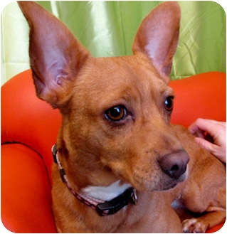 Chihuahua/Dachshund Mix Dog for adoption in Hawthorne, California - Lucy