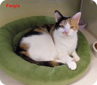 Domestic Shorthair Cat for adoption in Slidell, Louisiana - Fergie