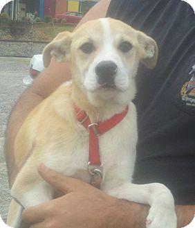 Labrador Retriever Mix Puppy for adoption in Broadway, New Jersey - Blondine