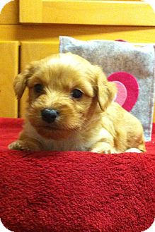 Terrier (Unknown Type, Small) Mix Puppy for adoption in Davie, Florida - Chip