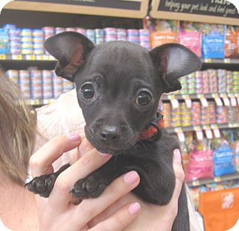 Xoloitzcuintle/Mexican Hairless/Chihuahua Mix Puppy for adoption in West Los Angeles, California - Robb