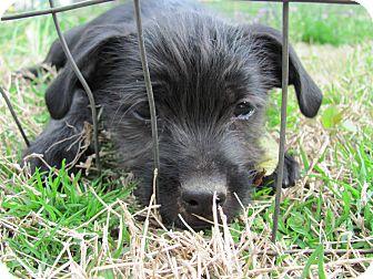 Schnauzer (Miniature)/Shih Tzu Mix Puppy for adoption in Albany, New York - China