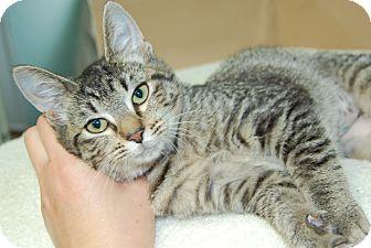 Domestic Shorthair Cat for adoption in Bradenton, Florida - Muffin