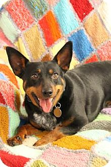 Miniature Pinscher/Australian Cattle Dog Mix Dog for adoption in Nanuet, New York - Cooper