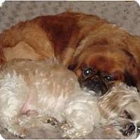 Adopt A Pet :: Bosco & Elmo-NC - Chapel Hill, NC