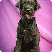Adopt A Pet :: Kringle - Broomfield, CO