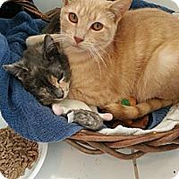 Adopt A Pet :: Gracie - Cranford/Rartian, NJ