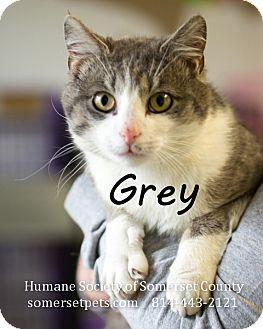 Domestic Shorthair Cat for adoption in Somerset, Pennsylvania - Grey