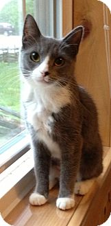 Domestic Shorthair Cat for adoption in Weare, New Hampshire - Fern