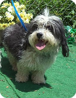 Havanese Dog for adoption in Marietta, Georgia - POW WOW - adopted @ off-site