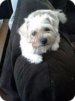 Maltese/Shih Tzu Mix Dog for adoption in Freeport, New York - Harley Quinn
