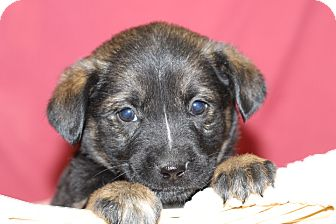 Shepherd (Unknown Type) Mix Puppy for adoption in Waldorf, Maryland - Apple
