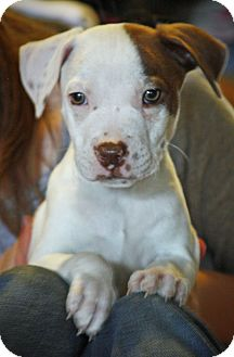 Boxer/Bulldog Mix Puppy for adoption in CHICAGO, Illinois - LARRY