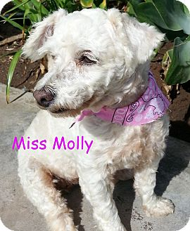 Poodle (Miniature)/Maltese Mix Dog for adoption in Poway, California - Molly