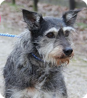 Schnauzer (Miniature) Mix Dog for adoption in Pewaukee, Wisconsin - TAYLOR - a love of a dog