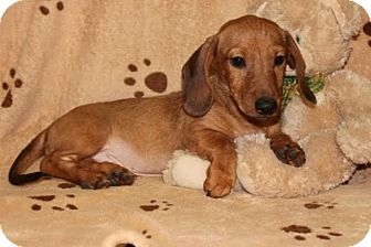 Dachshund Puppy for adoption in Salem, New Hampshire - Whiskey