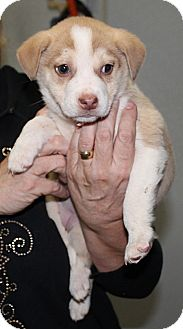 Siberian Husky Mix Puppy for adoption in Marble, North Carolina - Katie