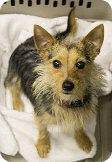 Yorkie, Yorkshire Terrier Mix Dog for adoption in Boca Raton, Florida - Pinoccio