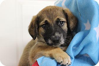 Brittany Mix Puppy for adoption in Hershey, Pennsylvania - Waylon