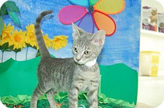 Domestic Shorthair Kitten for adoption in Bradenton, Florida - Simon