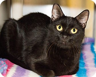 Domestic Shorthair Cat for adoption in Seville, Ohio - Arizona