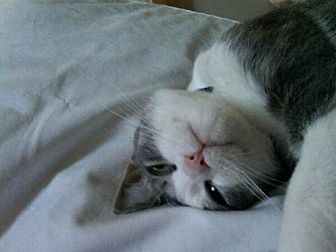 Manx Cat for adoption in Liberty, North Carolina - Bat Cat- PA