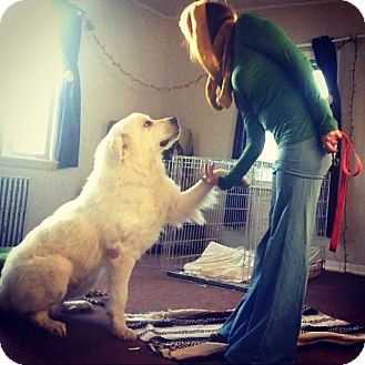 Great Pyrenees Dog for adoption in Lee, Massachusetts - Champ - in NY