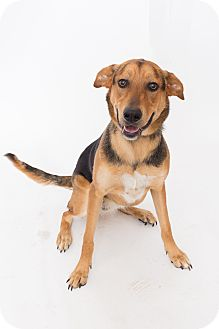 German Shepherd Dog/Labrador Retriever Mix Dog for adoption in Jupiter, Florida - Chloe 2