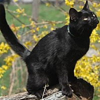 Domestic Shorthair Cat for adoption in Morehead, Kentucky - Polly ADULT FEMALE