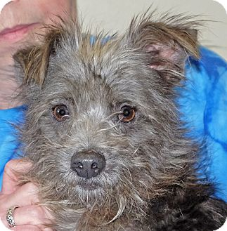 Terrier (Unknown Type, Small) Mix Dog for adoption in Spokane, Washington - Manny