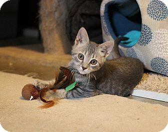 Domestic Shorthair Kitten for adoption in Carlisle, Pennsylvania - Flint