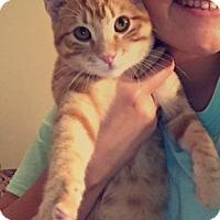 Adopt A Pet :: Big E - Edmond, OK
