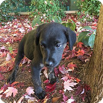 Labrador Retriever Mix Puppy for adoption in Cumming, Georgia - Canyon-Nature Pup