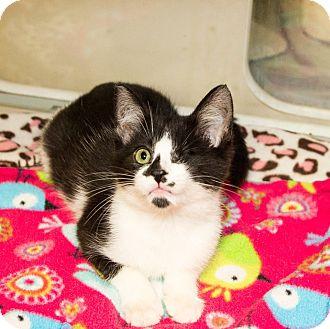 Domestic Shorthair Kitten for adoption in Seville, Ohio - Jameson