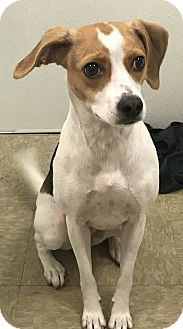 Beagle/Italian Greyhound Mix Dog for adoption in Navarre, Florida - Bagel