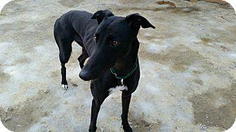 Greyhound Dog for adoption in Swanzey, New Hampshire - Reba